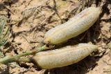 Astragalus dianthus