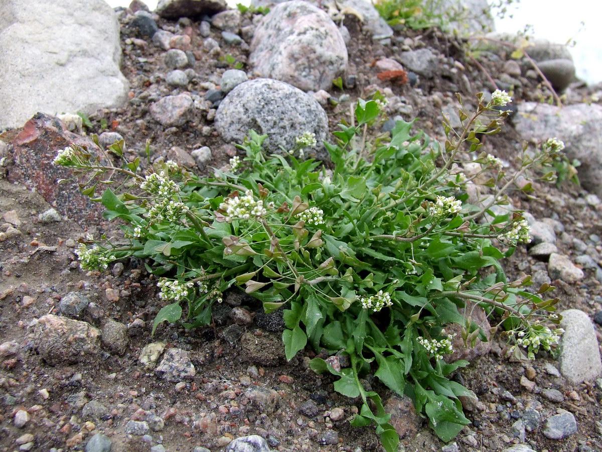Capsella bursa-pastoris