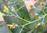 Kleinia × kleiniiformis