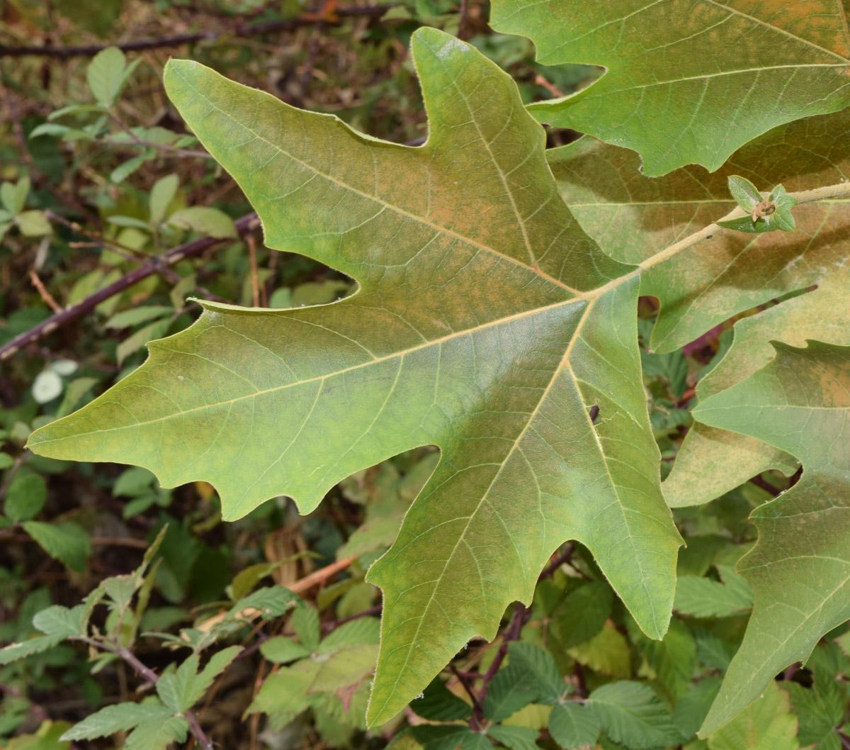 platanus orientalis Изоб�ажение �а��ения План�а�и�м