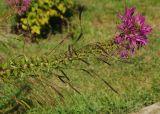 Tarenaya hassleriana