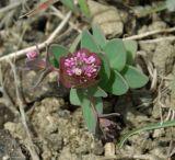 Aethionema cardiophyllum