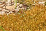 Euphorbia komaroviana