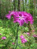 Dianthus × courtoisii