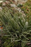 Saussurea leucophylla