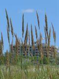 Calamagrostis glomerata