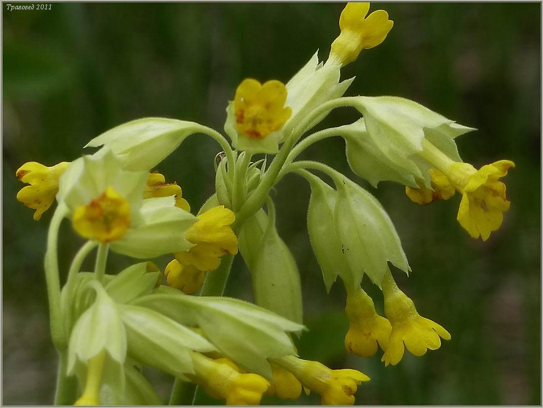 Первоцвет крупночашечный (Primula macrocalyx) Автор фото: Сергей Апполонов