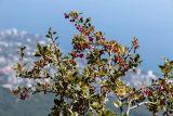 Berberis orientalis