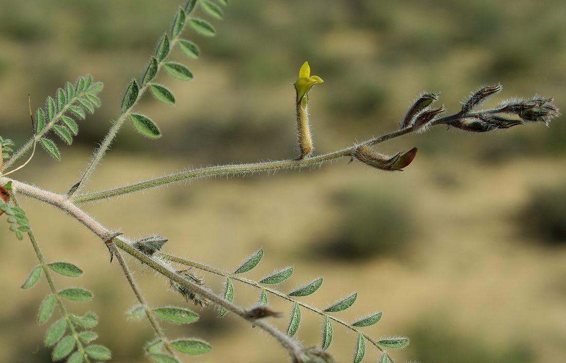 Изображение растения Astragalus turczaninowii.