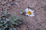 Waldheimia tomentosa