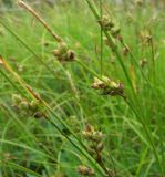Carex globularis