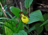 Cypripedium calceolus. Верхушка побега с цветком. Алтай, Кош-Агачский р-н, долина р. Верхняя Карасу, ≈ 1100 м н.у.м., берег реки, березняк. 22.06.2019.