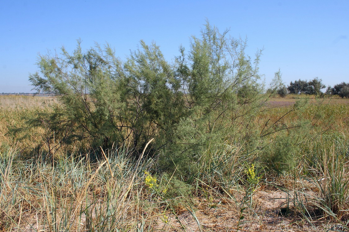 Гребенщик ветвистый (Tamarix ramosissima)