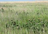 Stemmacantha serratuloides