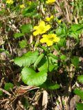 Ranunculus monophyllus