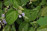 Tridynamia sinensis