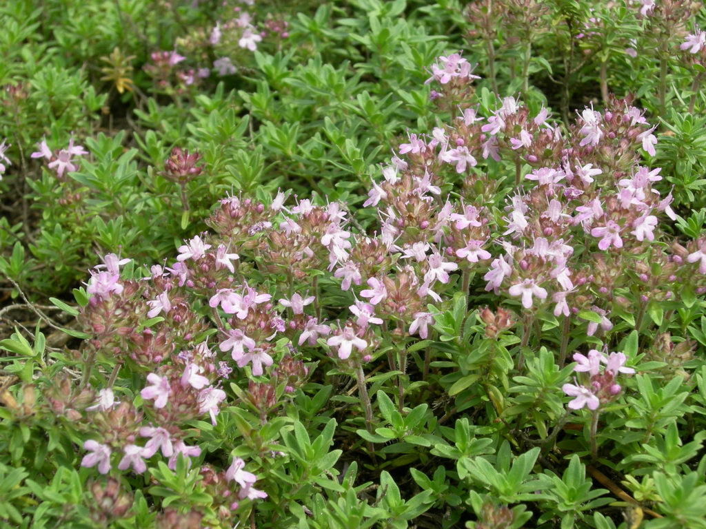 Изображение растения Thymus serpyllum.