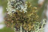 Tuckermanopsis