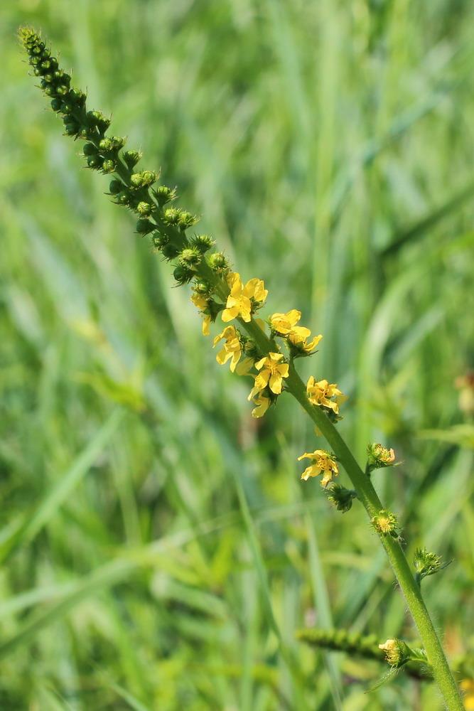 особенность состоит растение агримония фото назначение