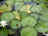 Nymphaea colorata