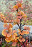 Betula exilis