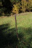 Salvia tesquicola