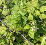 Rubus × idaeoides