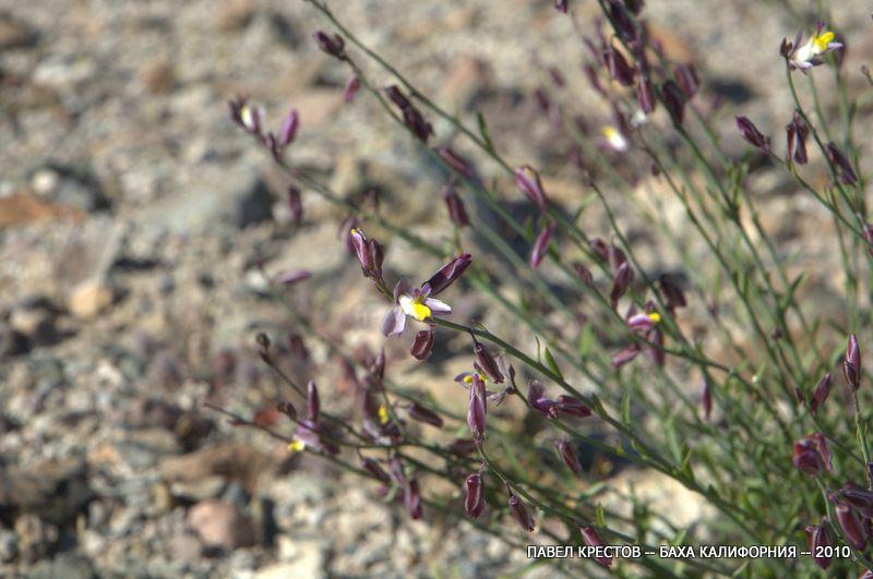 Изображение растения Polygala desertorum.