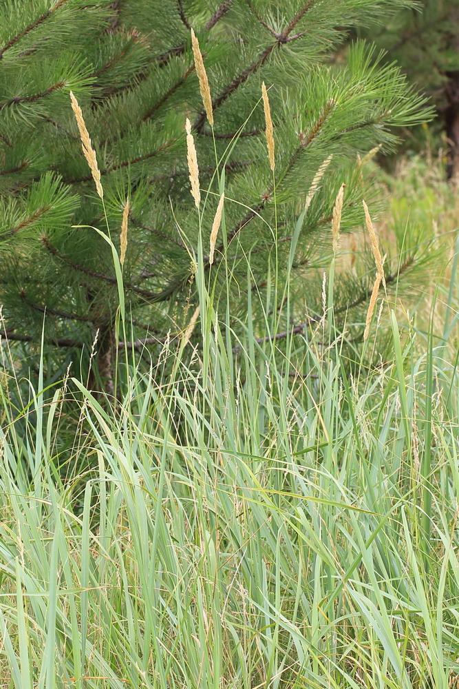 Вейник сжатый (Calamagrostis glomerata)