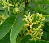 Vincetoxicum hirundinaria ssp. lusitanicum