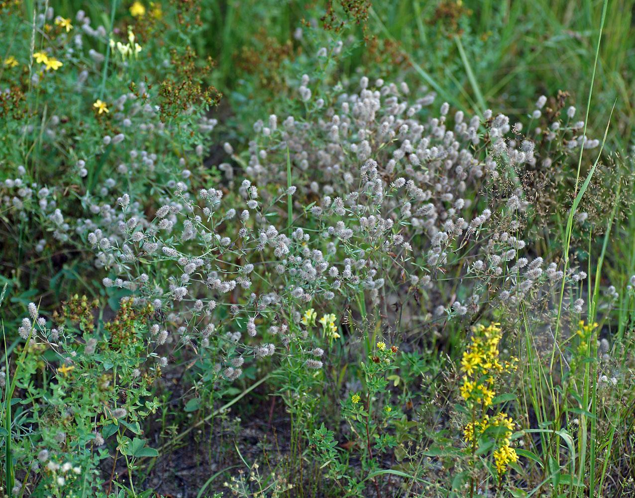 Клевер пашенный (Trifolium arvense) Автор фото: Виталий Гуменюк