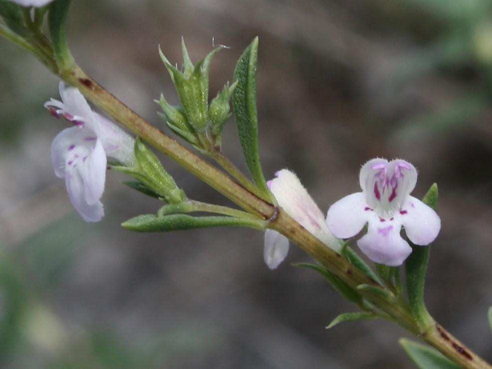 Тимьян Дзевановского - Thymus dzevanovskyi - Изображение растения ...