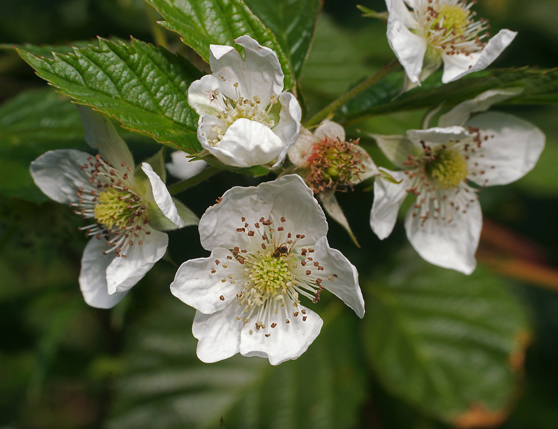 Ежевика обыкновенная (Rubus caesius). Автор фото: Виталий Гуменюк