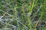 Carex brunnescens