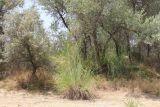 Erianthus ravennae