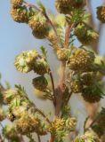 Artemisia rupestris