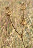 Crepis setosa