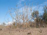 Corispermum ucrainicum