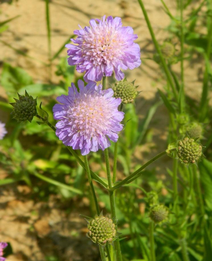 картинка цветка короставника неужели невельске
