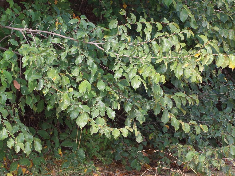 Вяз малый (Ulmus minor)