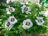 Paeonia suffruticosa var. papaveracea