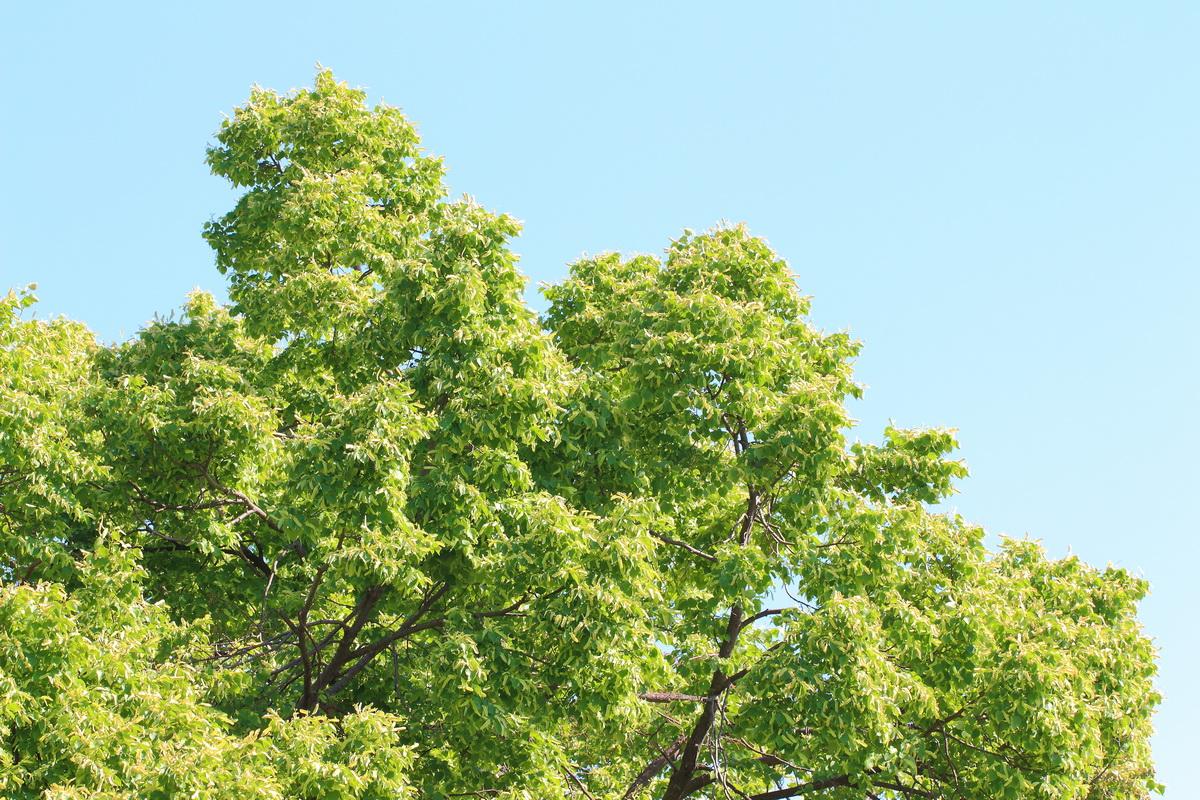 Липа сердцевидная (Tilia cordata)
