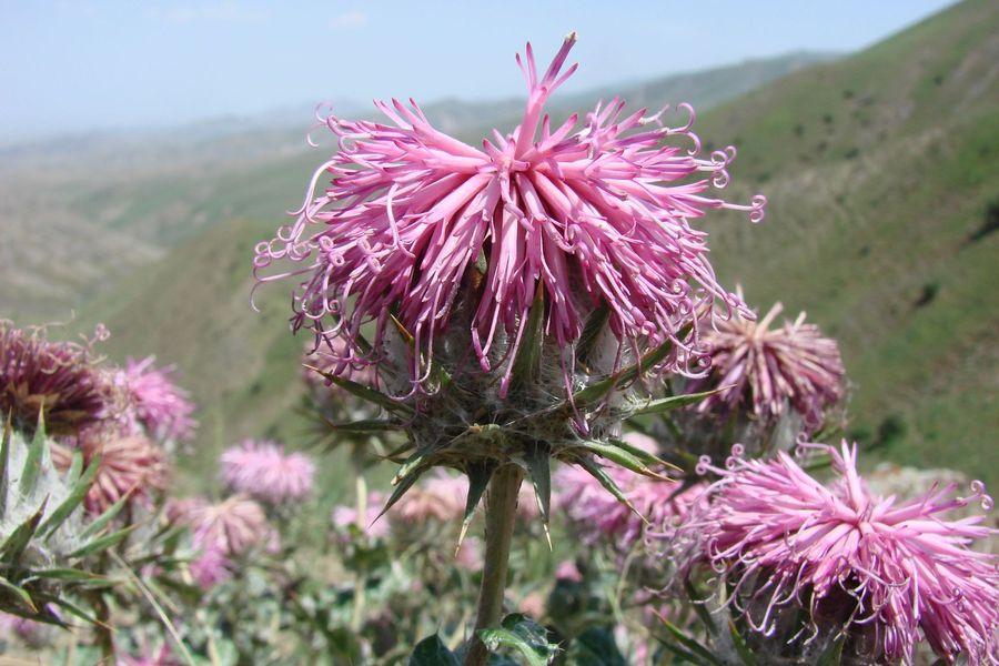 Изображение растения Cousinia dshisakensis.