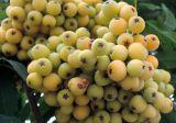 Sorbus × arnoldiana