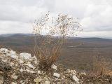 http://www.plantarium.ru/dat/plants/7/798/648798.jpg