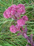 Hylotelephium triphyllum