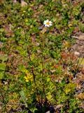 Pyrethrum parthenifolium