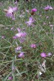 Centaurea substituta