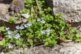 Veronica filiformis