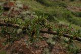 Rhamnus songorica